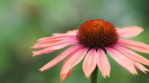 Purple coneflowers can be divided.