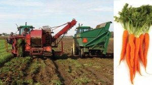The harvester plucks carrots from the ground, sending them up a conveyor belt and dropping them into the cart.