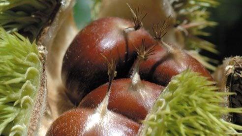 chestnuts_1-7270ef312c456c9b0dfc7082b6bebda4