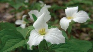 Our state wildflower, Trillium