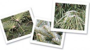 Canaan Fir, Fraser Fir, and White Pine