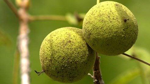 The Market for Black Walnuts - Ohio Farm Bureau