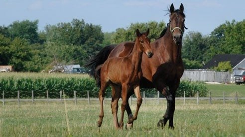 A mare and colt at pasture at Midland Acres.
