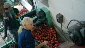 Jeremy Congrove and Joyce Riddle sort and wash apples before they move down a conveyor to be crushed and pressed.