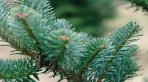 The boughs of the Fraser Fir are among the most popular with live Christmas tree buyers.