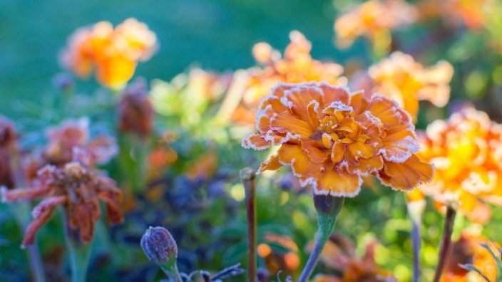 marigolds frost