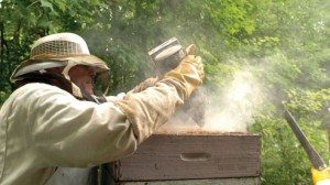 Using a smoker, Don Steinke drives the bees from the hive so that he can harvest the honey.