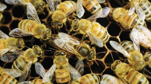 A queen bee is surrounded by worker bees on the comb.