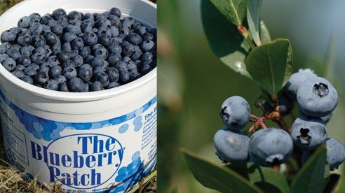 Blueberries are sold in 3- and 6-pound buckets.