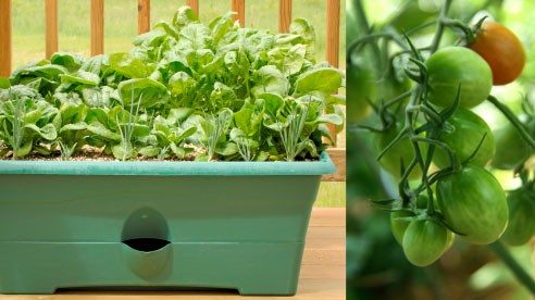 Lettuce and Cherry-like tomatoes can be grown in containers.