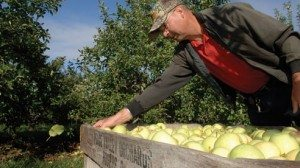 Paul Simmons is responsible for tending to about 300 acres of fruit trees and oversees the harvest.
