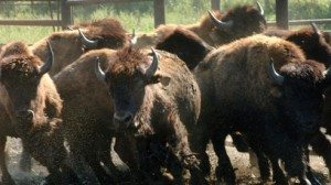The sound of thundering hooves frequently breaks the peaceful silence on Steve Slifko's 300-acre Marshallville farm. Bison can bolt into a sprint at 35 miles an hour and clear a fence from 20 feet away.
