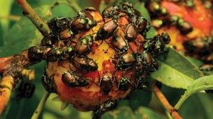 By not using pesticides, Kovach can track the toll insects take. While his goal is to let nature do most of the work, these peaches could not survive the Japanese Beetles without human intervention.