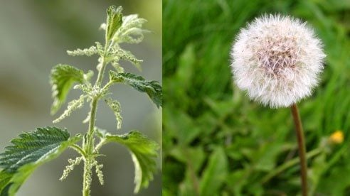 Stinging Nettle (l), a perennial weed and a dandelion flower which has gone to seed (r)