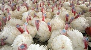 The Coopers contract with nearly 250 local farmers to produce 4.5 million pounds of turkey per year.