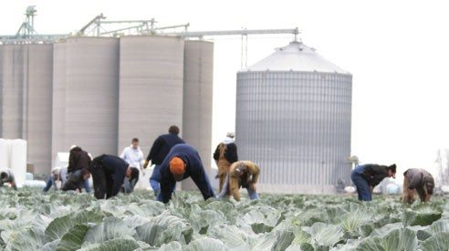 More than 60 volunteers lined a 16-acre field on a cold November day to hand harvest more than 150,000 pounds of cabbage to help feed Ohio's hungry.