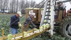 Volunteers from area FFA chapters harvested cabbage for more than eight hours.