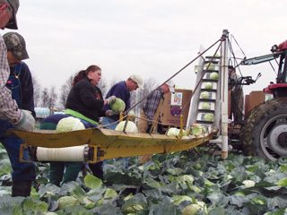Volunteers donated their time and efforts in a massive cabbage harvest in Sandusky County.
