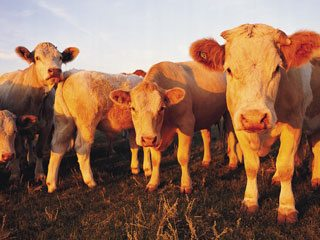 lfp_cattle