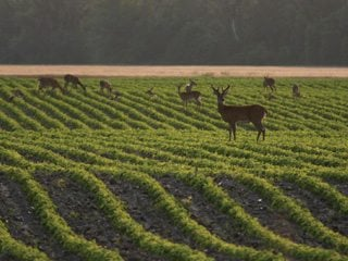 In addition to damage permits, OFBF policy calls for numerous methods to reduce the deer herd. Phot by iStockphoto.com