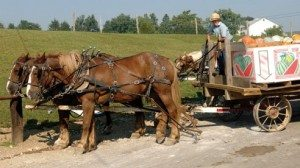 A horse and wagon brings in produce from nearby fields. Produce is typically picked the morning of the auction.
