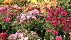 fresh_bid_flowers_mums-89af4fa9f2b931fa72fab925b6c9c117