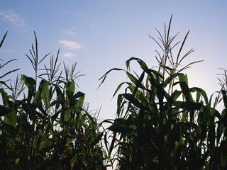 U.S. corn production was estimated at 12.29 billion bushels