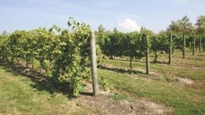 Ten rows of grapes grow on a one-acre plot.