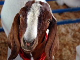 nubian_goat_320x240