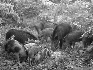 A trail camera captures a herd of feral swine visiting a bait station on public land in southeastern Ohio.