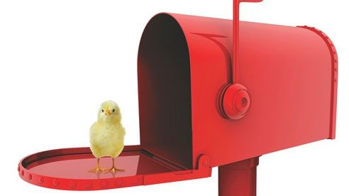 chicks_in_mail_1-8f08e0ec9a84c8fe9fee53690c5631a5