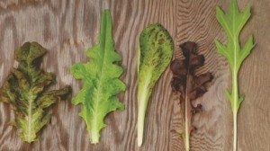 Left to right: Oscarde Red Oak Leaf (Tender and Sweet), Green Oak Leaf (Mild and Sweet), Freckles Romaine (Crisp and Sweet), Ferrari Red Oak Leaf (Delicate and Sweet), Mizuna (Mildly tangy)