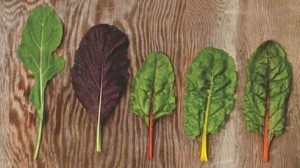 "Left to right: Arugala (Nutty and Peppery), Giant Red Mustard (Mildly pungent), Bright Lights Swiss Chard, three shown (Mild, Colorful and ""Spinach-like)"""