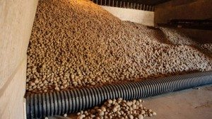 A mountain of potatoes await packaging at the Michael Farms facility in Urbana.