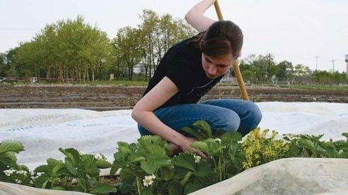Metro student Olivia Degitz weeds strawberry plants.