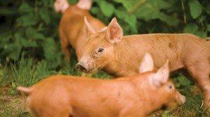 bacon_pig_3-c8fbd51e5d178c87887f6026f9fecd8e