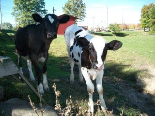 A quick-thinking Farm Bureua member in Cuyahoga County helped these two dairy calves.