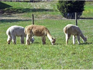 Francis Farms/Alpaca Corner - John, Mary & Sally Francis