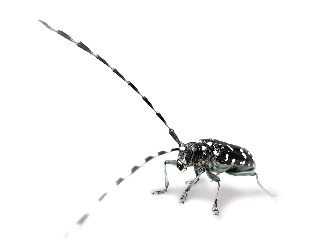 The invasive Asian longhorned beetle was discovered in Clermont County, threatening Ohio forests & maple syrup business