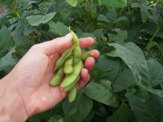 soybean4