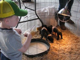Young attendee checking out the piglets at the hog farm display during the Breakfast on the Farm event.