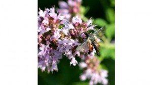 Squash vine borer moth (Melittia satyriniformis)