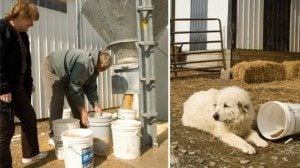 Helen and Bill Roe fill buckets with feed. A Great Pyrenees watches over the Roes' farm.