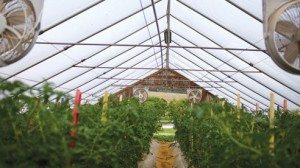 The Weber's high tunnels have roll up sides for airflow and use drip irrigation.