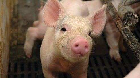 A pig's grunt