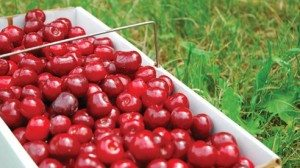 A peck of Emperor Francis Sweet cherries