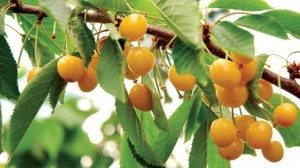 Gold variety cherries that usually ripen mid-July