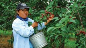 Erma Cruz, wholesale and packing manager, helping pick cherries