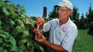 Neil Cherry harvests a ripe, full cluster of Canadice.