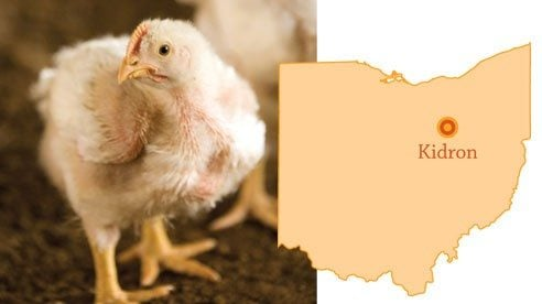 Demonstrating transparency, Gerber's Poultry invited Our Ohio to photograph all aspects of its business—from newly hatched chicks, to the farmers' barns to their processing facility.